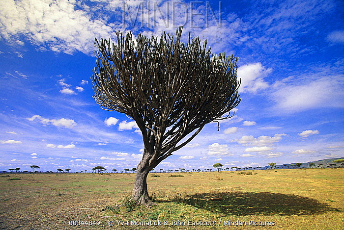 Candelabra Tree (Euphorbia candelabrum) with Cheetah underneath, afternoon in grasslands, Masai Mara National Reserve, Kenya  -  Yva Momatiuk & John Eastcott