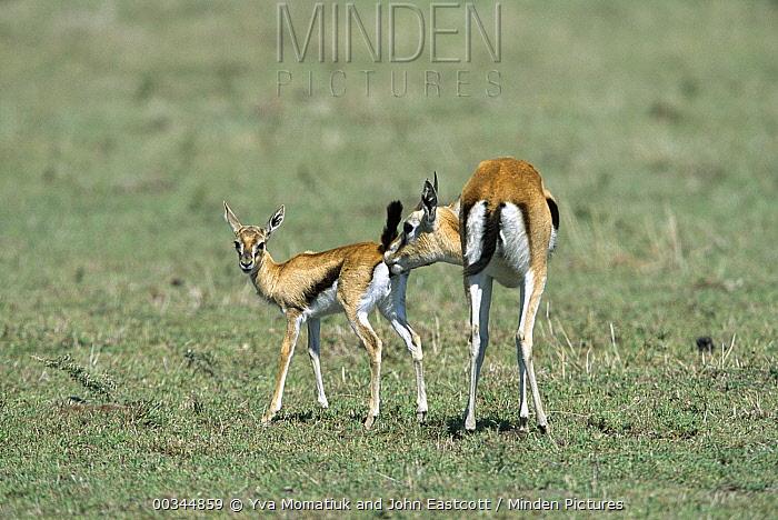 Thomson's Gazelle (Eudorcas thomsonii) doe licks her fawns urine so that predators can't pick-up the scent, Masai Mara National Reserve, Kenya  -  Yva Momatiuk & John Eastcott