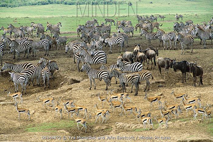 Burchell's Zebra (Equus burchellii) herd Blue Wildebeest (Connochaetes taurinus) and Thomson's Gazelles (Eudorcas thomsonii) congregate near crossing, Mara River, Masai Mara National Reserve, Kenya  -  Yva Momatiuk & John Eastcott