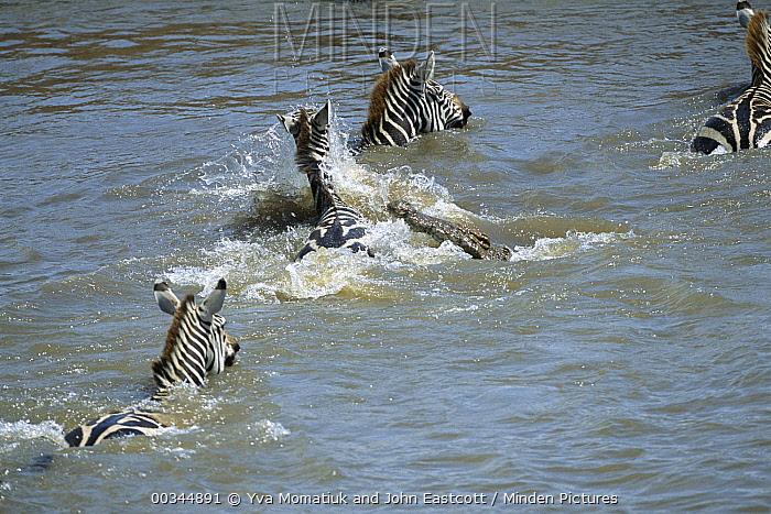 Burchell's Zebra (Equus burchellii) group crossing the Mara River with hungry Crocodile (Crocodylus niloticus) attacking, Masai Mara National Reserve, Kenya  -  Yva Momatiuk & John Eastcott