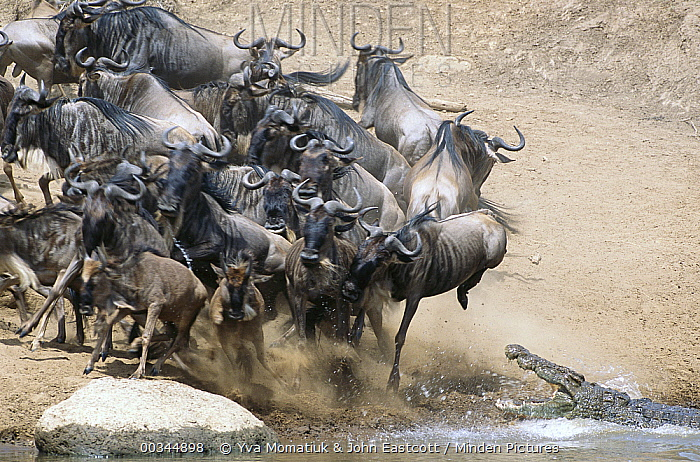 Blue Wildebeest (Connochaetes taurinus) herd trying to cross Mara River, fleeing from hungry Crocodiles, Masai Mara National Reserve, Kenya  -  Yva Momatiuk & John Eastcott