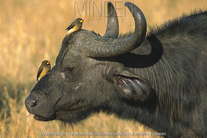 Cape Buffalo (Syncerus caffer) bull with Red-billed Oxpecker (Buphagus erythrorhynchus) pair, Masai Mara National Reserve, Kenya  -  Yva Momatiuk & John Eastcott
