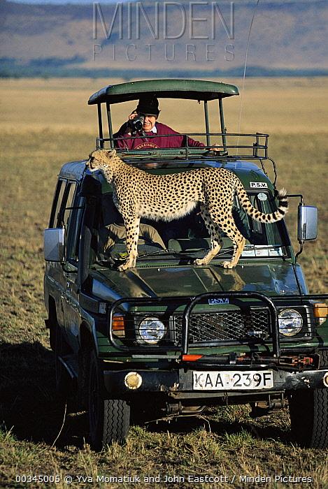 Cheetah (Acinonyx jubatus) adult female, on hood of vehicle to observe distant antelope, tourists watching, Masai Mara National Reserve, Kenya  -  Yva Momatiuk & John Eastcott