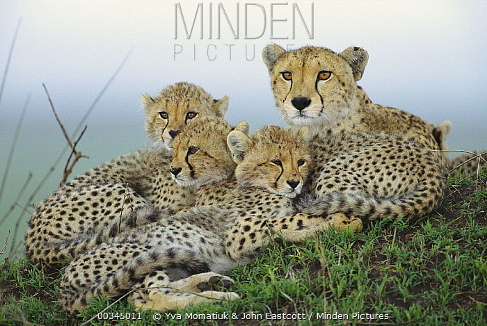 Cheetah (Acinonyx jubatus) adult female, with her cubs resting on termite mound, evening, Masai Mara National Reserve, Kenya  -  Yva Momatiuk & John Eastcott