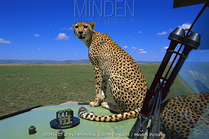 Cheetah (Acinonyx jubatus) female on safari vehicle scanning savannah, Masai Mara National Reserve, Kenya  -  Yva Momatiuk & John Eastcott