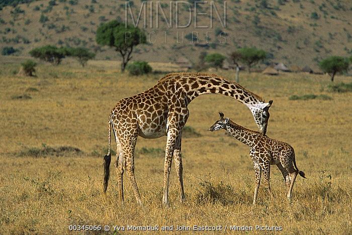 Masai Giraffe (Giraffa tippelskirchi) mother smelling and identifying her newborn, Masai Mara, Kenya  -  Yva Momatiuk & John Eastcott