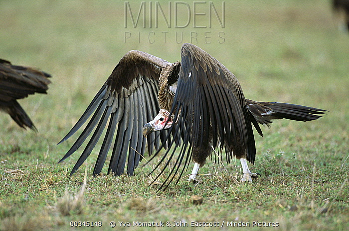 Lappet-faced Vulture (Torgos tracheliotus) one of the largest Vultures, strides toward carcass, Masai Mara National Reserve, Kenya  -  Yva Momatiuk & John Eastcott