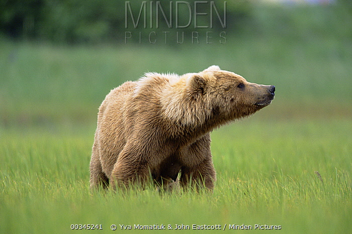Grizzly Bear (Ursus arctos horribilis) female in green grass, Katmai National Park, Alaska  -  Yva Momatiuk & John Eastcott