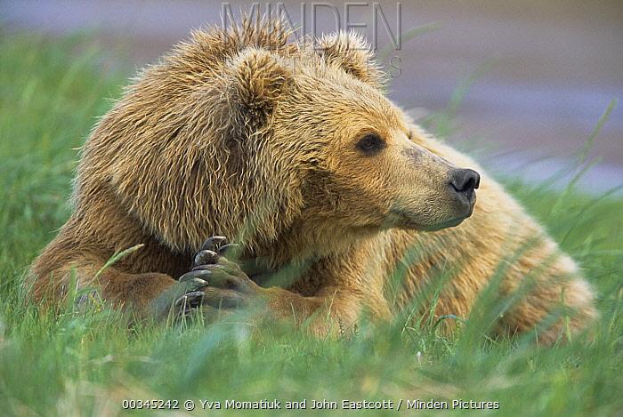 Grizzly Bear (Ursus arctos horribilis) female in green grass, Katmai National Park, Alaska  -  Yva Momatiuk & John Eastcott