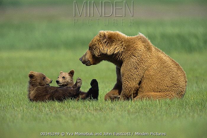 Grizzly Bear (Ursus arctos horribilis) mother with 4-month-old cubs resting in grass together, Katmai National Park, Alaska  -  Yva Momatiuk & John Eastcott