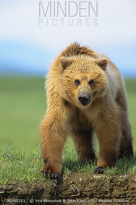 Grizzly Bear (Ursus arctos horribilis) 2 year-old female, portrait, Katmai National Park, Alaska  -  Yva Momatiuk & John Eastcott