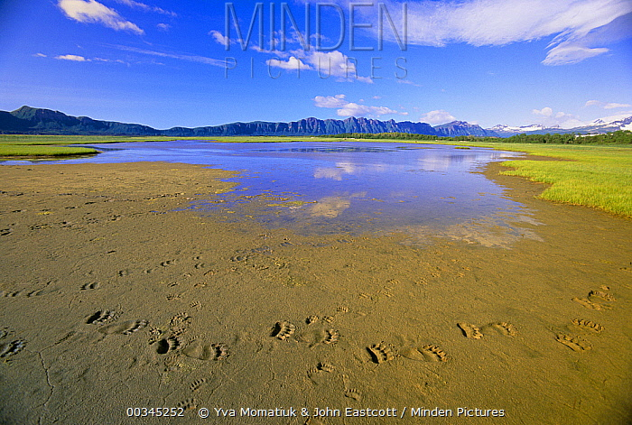 Grizzly Bear (Ursus arctos horribilis) large tracks of many feet in wet sand around small meadow pond, Katmai National Park, Alaska  -  Yva Momatiuk & John Eastcott
