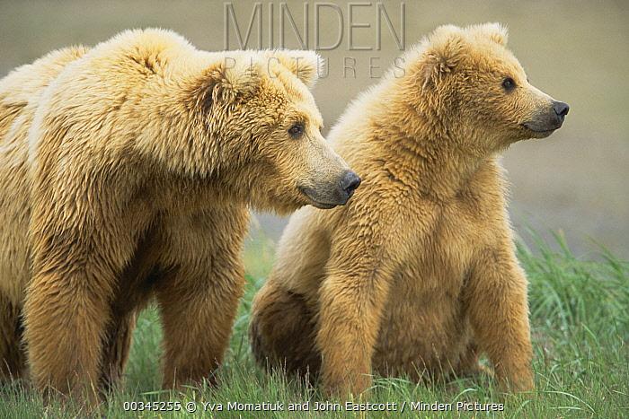 Grizzly Bear (Ursus arctos horribilis) mother and female cub, Katmai National Park, Alaska  -  Yva Momatiuk & John Eastcott