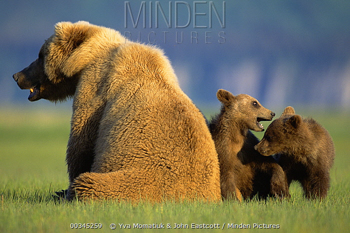 Grizzly Bear (Ursus arctos horribilis) mother with two 4 month old cubs, Katmai National Park, Alaska  -  Yva Momatiuk & John Eastcott