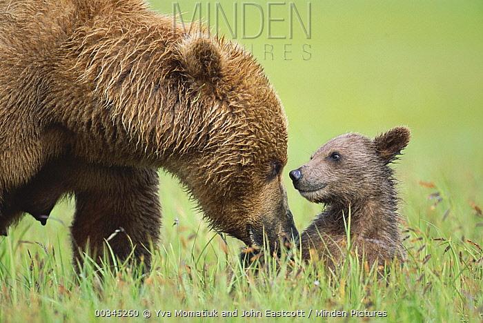 Grizzly Bear (Ursus arctos horribilis) mother with 4 month old cub, Katmai National Park, Alaska  -  Yva Momatiuk & John Eastcott