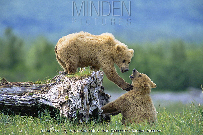 Grizzly Bear (Ursus arctos horribilis) 2 year old female siblings playing, Katmai National Park, Alaska  -  Yva Momatiuk & John Eastcott