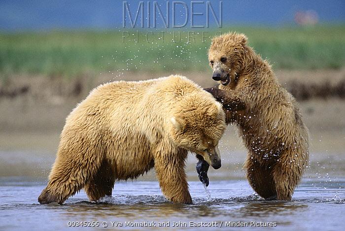 Grizzly Bear (Ursus arctos horribilis) 2 year old male and mother playing, Katmai National Park, Alaska  -  Yva Momatiuk & John Eastcott