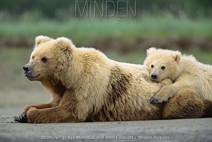 Grizzly Bear (Ursus arctos horribilis) 2 year old male and mother resting, Katmai National Park, Alaska  -  Yva Momatiuk & John Eastcott