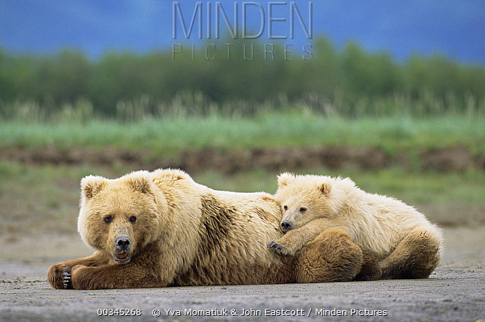 Grizzly Bear (Ursus arctos horribilis) 2 year old male and mother resting, Katmai National Park, Alaska  -  Yva Momatiuk & John Eastcott