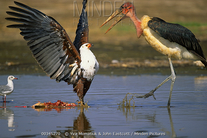Marabou Stork (Leptoptilos crumeniferus) tries to claim Lesser Flamingo (Phoenicopterus minor) carcass from African Fish Eagle (Haliaeetus vocifer), Lake Nakuru National Park, Kenya  -  Yva Momatiuk & John Eastcott
