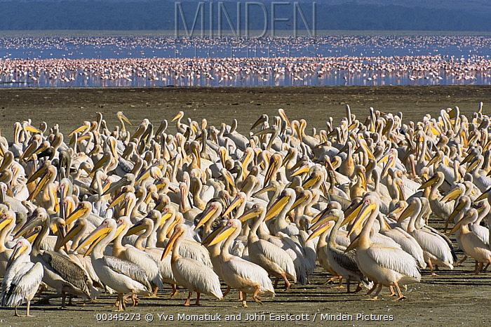 Great White Pelican (Pelecanus onocrotalus) in tight large group on lake shore, Lake Nakuru National Park, Kenya  -  Yva Momatiuk & John Eastcott
