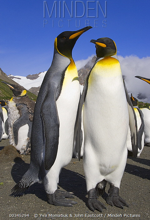 King Penguin (Aptenodytes patagonicus) adults interacting, some molting, near rookery on beach, fall morning, Right Whale Bay, South Georgia Island, Southern Ocean, Antarctic Convergence  -  Yva Momatiuk & John Eastcott