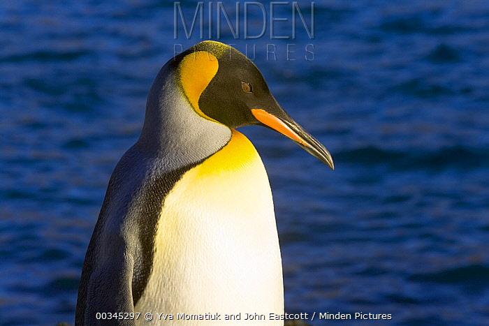 King Penguin (Aptenodytes patagonicus) adult on beach, fall morning, Right Whale Bay, South Georgia Island, Southern Ocean, Antarctic Convergence  -  Yva Momatiuk & John Eastcott