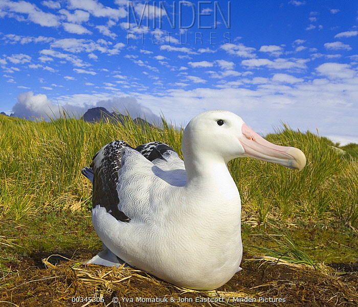 Wandering Albatross (Diomedea exulans) adult incubating egg during nesting season in strong wind, early fall, Prion Island, South Georgia, Southern Ocean, Antarctic Convergence  -  Yva Momatiuk & John Eastcott