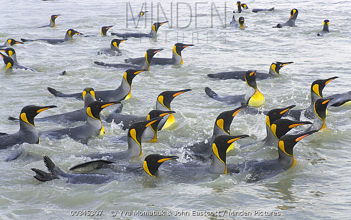 King Penguin (Aptenodytes patagonicus) swimmng and washing their feathers to maintain insulating properties in cold climate, near beaches of Salisbury Plain, South Georgia Island, Southern Ocean, Antarctic Convergence  -  Yva Momatiuk & John Eastcott
