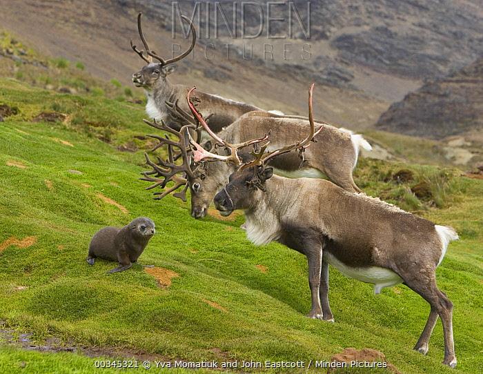 Caribou (Rangifer tarandus) three bulls with full antlers and Antarctic Fur Seal (Arctocephalus gazella) pup on green mountain slope, near Husvik Bay, South Georiga Island, Southern Ocean, Antarctic Convergence  -  Yva Momatiuk & John Eastcott