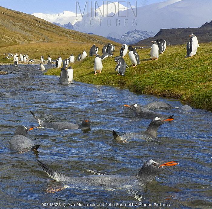 Gentoo Penguin (Pygoscelis papua) group resting, washing, interacting and drinking from mountain stream near Husvik Bay, Southern Ocean, South Georgia Island, Antarctic Convergence  -  Yva Momatiuk & John Eastcott