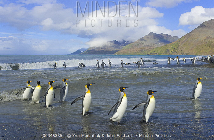 King Penguin (Aptenodytes patagonicus) coming and going from the sea near large rookery, fall, St Andrews Bay, South Georgia Island, Southern Ocean, Antarctic Convergence  -  Yva Momatiuk & John Eastcott