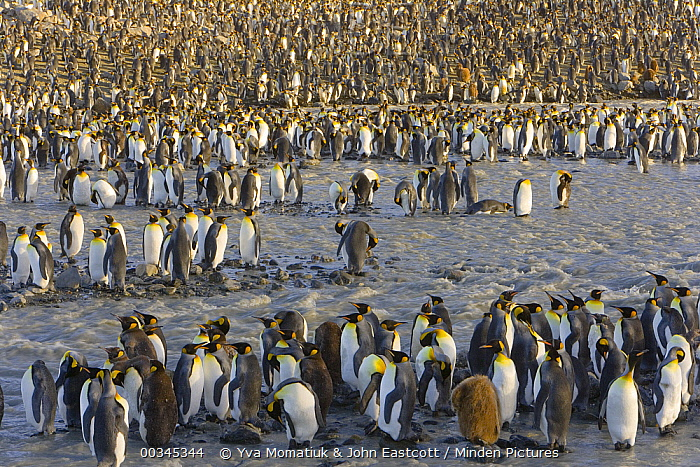 King Penguin (Aptenodytes patagonicus) crowded rookery along river and near sea, St Andrews Bay, South Georgia Island, Southern Ocean, Antarctic Convergence  -  Yva Momatiuk & John Eastcott