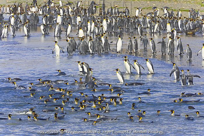 King Penguin (Aptenodytes patagonicus) swimming near beach, fall morning, St Andrews Bay, South Georgia Island, Southern Ocean, Antarctic ConvergenceIsland  -  Yva Momatiuk & John Eastcott