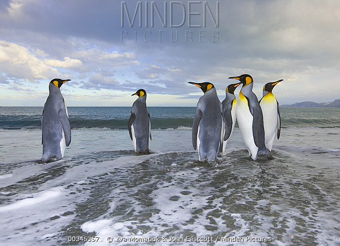 King Penguin (Aptenodytes patagonicus) walking in shallow surf near shore in evening, fall, Gold Harbour, South Georgia Island, Southern Ocean, Antarctic Convergence  -  Yva Momatiuk & John Eastcott