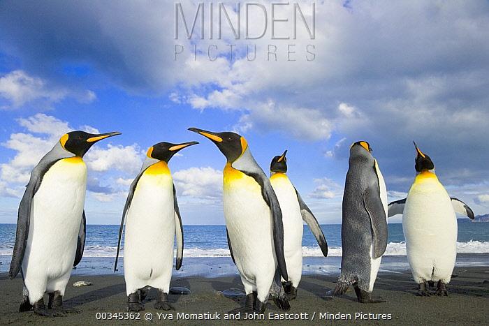 King Penguin (Aptenodytes patagonicus) group walking, pointing long bills on gravel beach, fall, Gold Harbour, South Georgia, Southern Ocean, Antarctic Convergence  -  Yva Momatiuk & John Eastcott