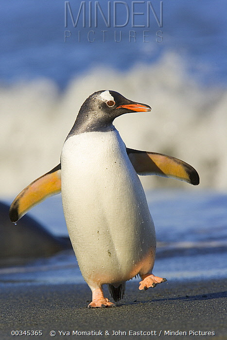 Gentoo Penguin (Pygoscelis papua) flapping wings and walking on beach in surf, evening, Cooper Bay, South Georgia Island, Southern Ocean, Antarctic Convergence  -  Yva Momatiuk & John Eastcott