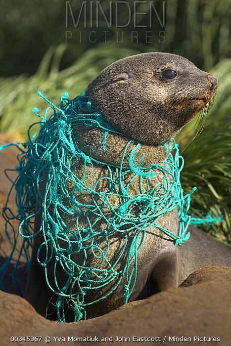 Antarctic Fur Seal (Arctocephalus gazella) young male on beach, entangled in green fishing net, deadly marine debris floating in all oceans, Gold Harbour, South Georgia Island, Southern Ocean, Antarctic Convergence  -  Yva Momatiuk & John Eastcott
