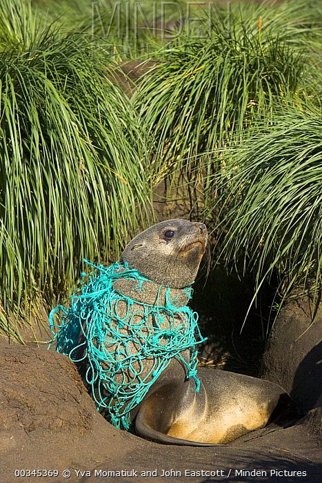 Antarctic Fur Seal (Arctocephalus gazella) young male on beach, entangled in green fishing net, deadly marine debris floating in all oceans, Gold Harbour, South Georgia, Southern Ocean, Antarctic Convergence  -  Yva Momatiuk & John Eastcott