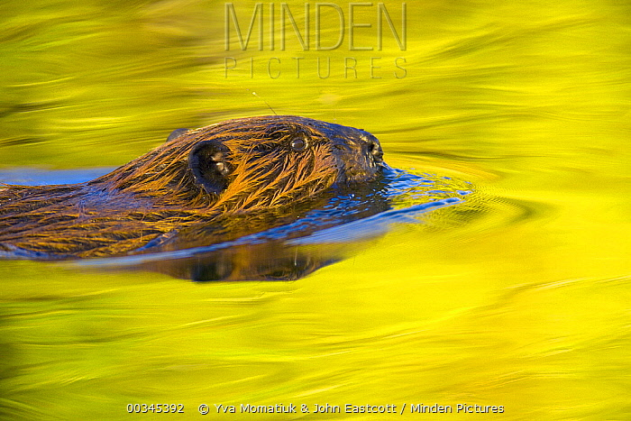 American Beaver (Castor canadensis) a semi-aquatic rodent swimming across calm pond behind beaver dam on mountain river, fall foliage reflectd in water, evening, Denali National Park, Alaska  -  Yva Momatiuk & John Eastcott