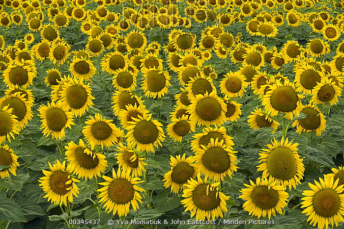 Common Sunflower (Helianthus annuus) field, close up of cultivated blooms with mature seeds in farmer's field, evening, Kansas  -  Yva Momatiuk & John Eastcott