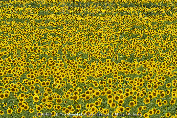Common Sunflower (Helianthus annuus) field of cultivated blooms with mature seeds in farmer's field, evening, Kansas  -  Yva Momatiuk & John Eastcott