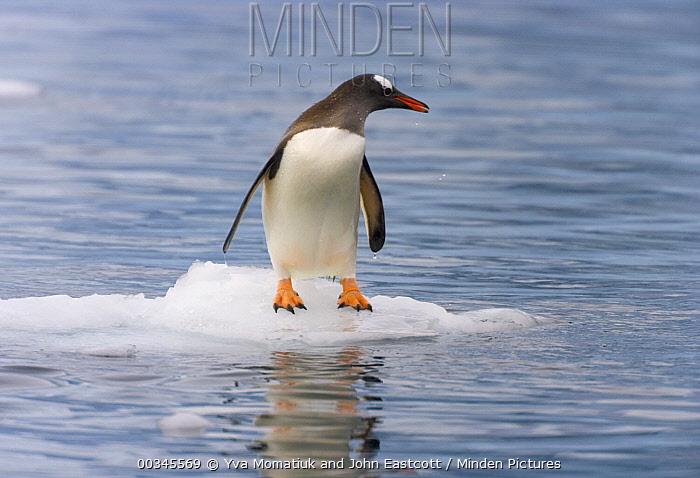 Gentoo Penguin (Pygoscelis papua) on small ice floe, Gerlache Passage, Antarctica  -  Yva Momatiuk & John Eastcott