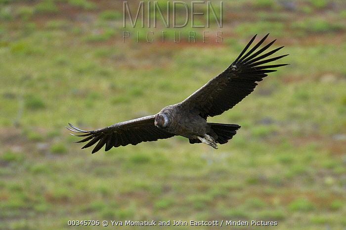 Andean Condor (Vultur gryphus) flying, Torres del Paine National Park, Chile  -  Yva Momatiuk & John Eastcott