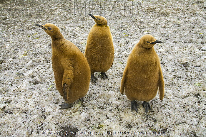 King Penguin (Aptenodytes patagonicus) chicks, South Georgia Island  -  Yva Momatiuk & John Eastcott