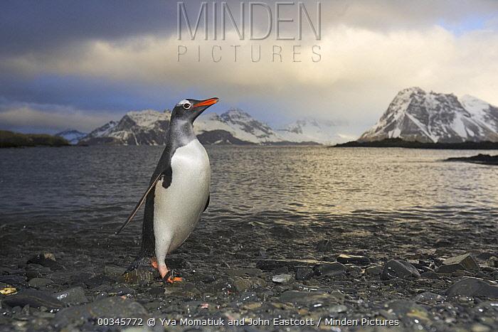 Gentoo Penguin (Pygoscelis papua) on beach, Prion Island, South Georgia Island  -  Yva Momatiuk & John Eastcott