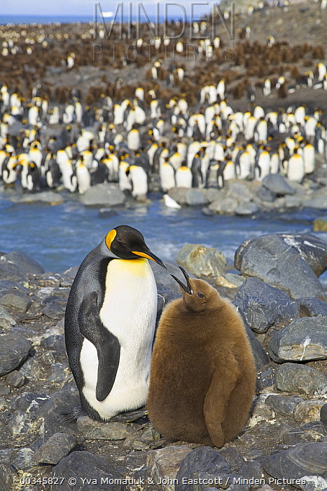 King Penguin (Aptenodytes patagonicus) parent and chick on riverbank, St. Andrews Bay, South Georgia Island  -  Yva Momatiuk & John Eastcott