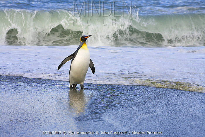 King Penguin (Aptenodytes patagonicus) emerges from surf, St. Andrews Bay, South Georgia Island  -  Yva Momatiuk & John Eastcott