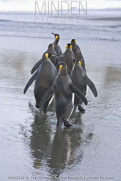 King Penguin (Aptenodytes patagonicus) walking on beach, St. Andrews Bay, South Georgia Island  -  Yva Momatiuk & John Eastcott