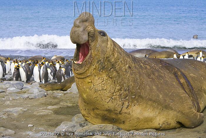 Southern Elephant Seal (Mirounga leonina) bull roaring at intruder on beach during breeding season, Gold Harbour, South Georgia Island  -  Yva Momatiuk & John Eastcott